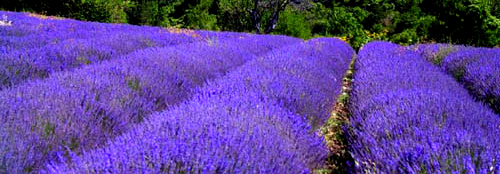 Ormus Minerals 20 Reasons to use Lavender Essential Oil